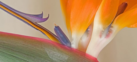 Framed Close Up of Strelitzia in bloom, California Print