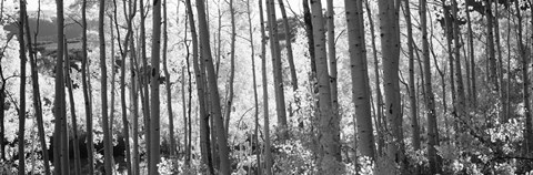 Framed Aspen tree trunks in black and white, Colorado, USA Print