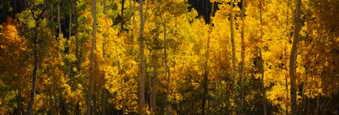 Framed Aspen trees in a forest, Telluride, Colorado Print