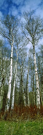 Framed Birch trees in a forest, US Glacier National Park, Montana, USA Print