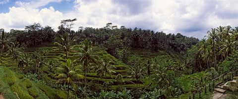 Framed Terraced rice field and Palm Trees, Flores Island, Indonesia Print