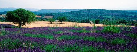 Framed Lavender growing in a  field, Provence-Alpes-Cote d'Azur, France Print