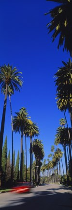 Framed Palm trees along a road, Beverly Hills, Los Angeles County, California, USA Print