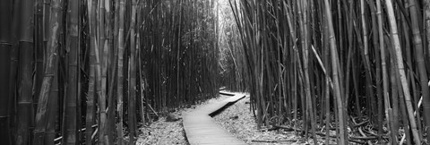 Framed Bamboo forest in black and white, Oheo Gulch, Seven Sacred Pools, Hana, Maui, Hawaii, USA Print