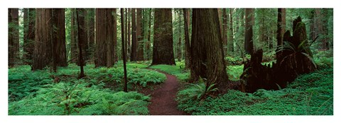 Framed Redwoods Path Print