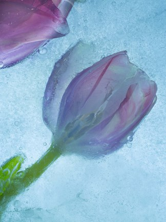 Framed Flowers on Ice-2 Print