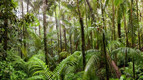 Framed Trees in tropical rainforest, Eungella National Park, Mackay, Queensland, Australia Print