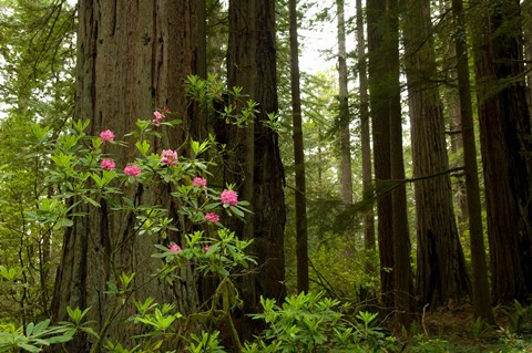 Framed Redwood trees and rhododendron flowers in a forest, Del Norte Coast Redwoods State Park, Del Norte County, California, USA Print