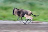 Newborn wildebeest calf running with its mother, Ndutu, Ngorongoro, Tanzania Art