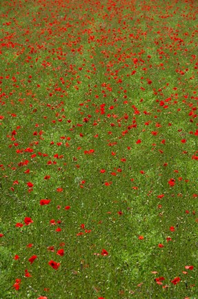 Framed Poppy Field in Bloom, Les Gres, Sault, Vaucluse, Provence-Alpes-Cote d'Azur, France (vertical) Print