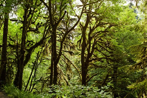 Framed Trees in a Forest, Quinault Rainforest, Olympic National Park, Olympic Peninsula, Washington State Print