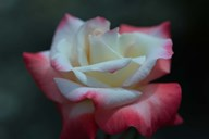 Close-up of a pink and white rose, Los Angeles County, California, USA Art