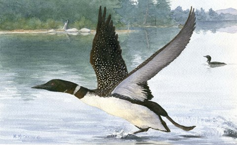 Framed Loon Take-Off Print