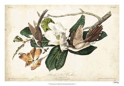 Framed Black-billed Cuckoo Print
