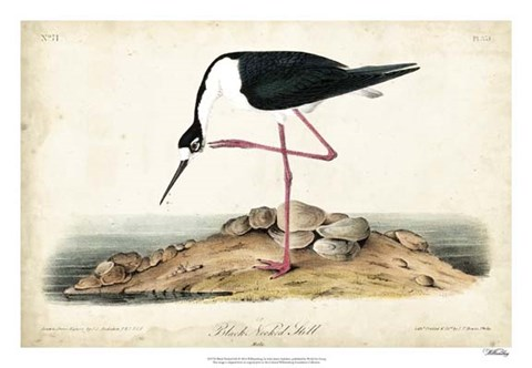 Framed Black Necked Stilt Print