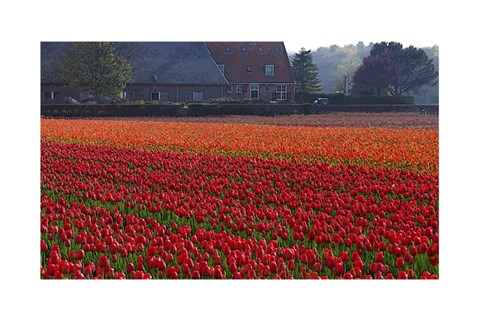 Framed Dutch Red Tulip Field Print