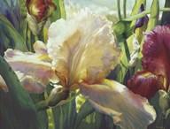 Corrine's Iris  Fine Art Print