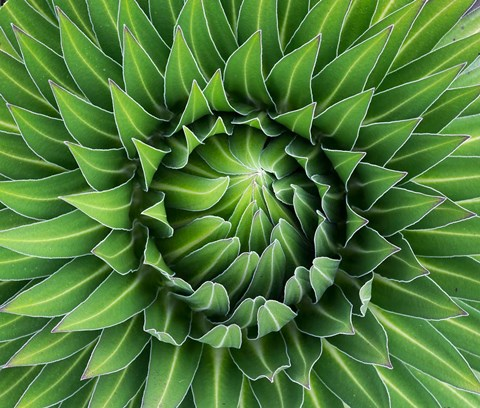 Framed Close up of Giant Lobelia rosette of leaves, Kenya Print