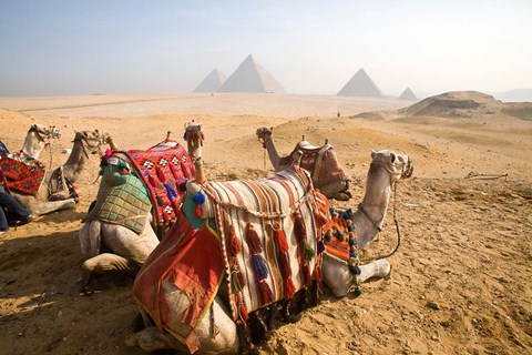 Framed Egypt, Cairo, Camels, desert sands of Giza Pyramids Print