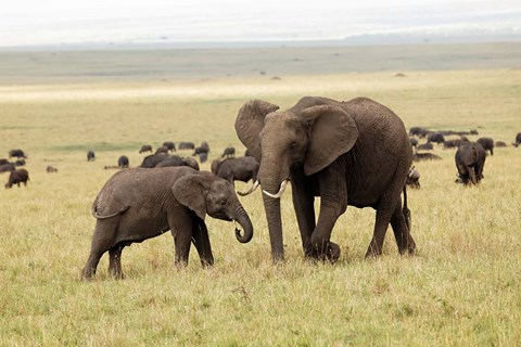 Framed Herd of African elephants, Maasai Mara, Kenya Print