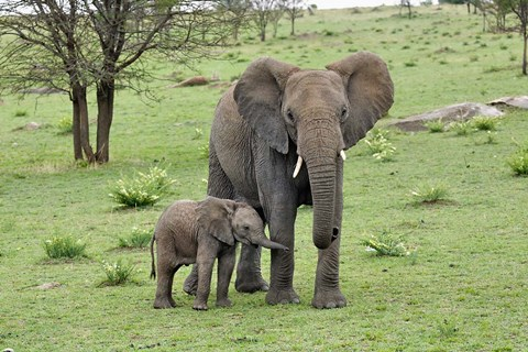 Framed Female African Elephant with baby, Serengeti National Park, Tanzania Print