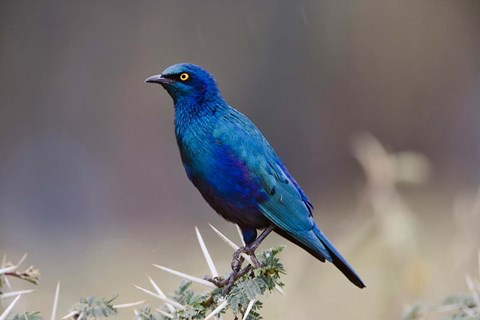 Framed Blue-eared Glossy Starling bird, Lake Nakuru NP, Kenya Print