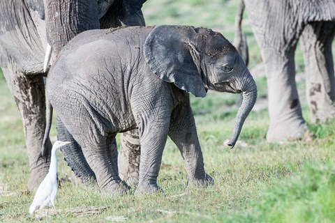 Framed African bush elephant calf in Amboseli National Park, Kenya Print