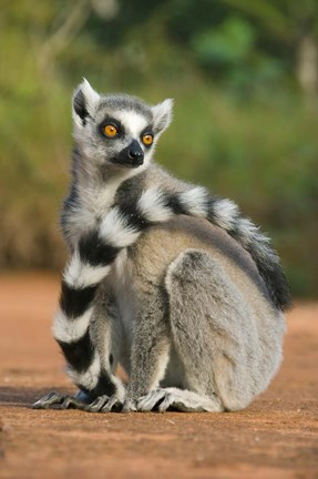 Framed Close up of Ring-tailed Lemur, Madagascar Print