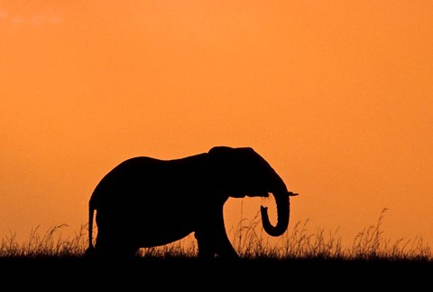 Framed Silhouette of Elephant at sunset, Masai Mara National Reserve, Kenya Print