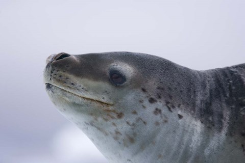 Visitors Get Close-up View of Leopard Seal on Iceberg in ...