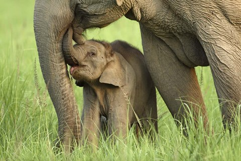 Framed Elephant and Young, Corbett National Park, Uttaranchal, India Print