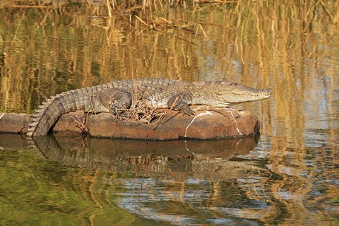 Framed Marsh Crocodile, Ranthambhor National Park, India Print