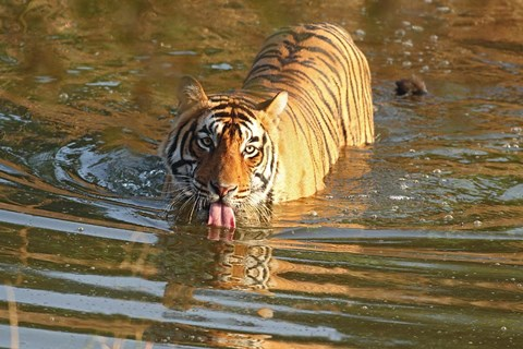Framed Royal Bengal Tiger in the water, Ranthambhor National Park, India Print