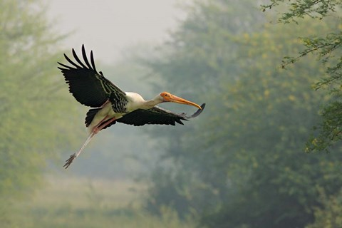 Framed Painted Stork in flight, Keoladeo National Park, India Print