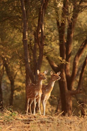Framed Spotted Deers watching Tiger, Ranthambhor NP, India Print