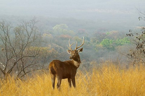 Framed Sambar Deer in Ranthambore National Park, Rajasthan, India Print