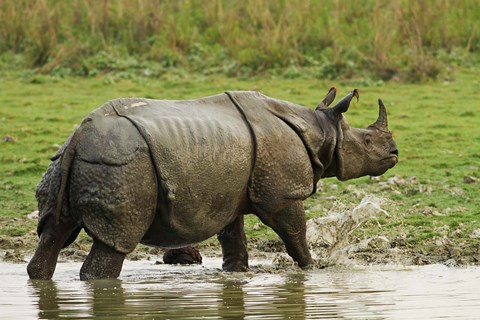 Framed One-horned Rhinoceros, coming out of jungle pond, Kaziranga NP, India Print