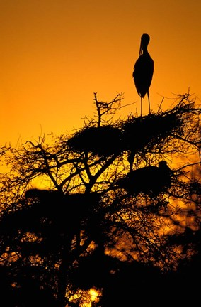 Framed Silhouette of Painted Stork, Keoladeo National Park, Rajasthan, India Print