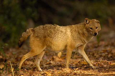 Framed Golden Jackal wildlife, Bharatpur NP, Rajasthan. INDIA Print