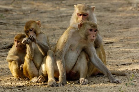 Framed Group of Rhesus Macaques, Bharatpur NP, Rajasthan, INDIA Print