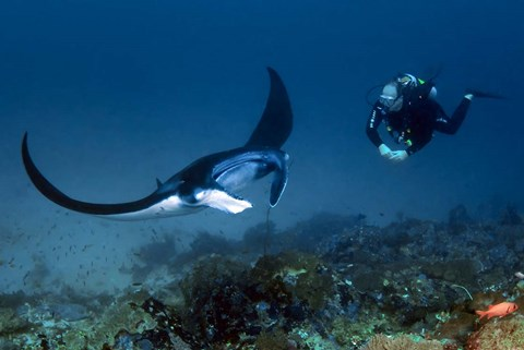 Framed Manta ray swims past scuba diver, Komodo NP, Indonesia Print
