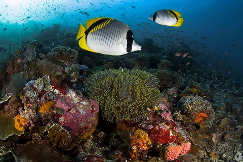 Framed Lined butterflyfish swim over reef corals, Komodo National Park, Indonesia Print