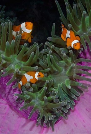 Framed Clownfish swim among anemone tentacles, Raja Ampat, Indonesia Print