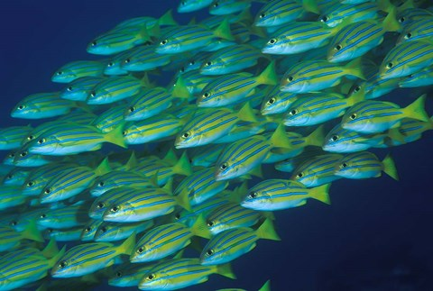 Framed Close-up of schooling lined snappers, Komodo National Park, Indonesia Print
