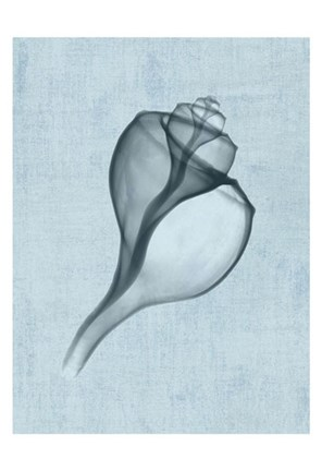 Framed Channelled Whelk (light blue) Print