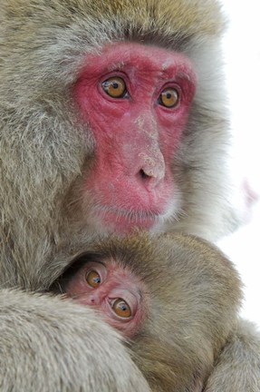 Framed Baby Snow Monkey Clinging to Mother, Jigokudani Monkey Park, Japan Print
