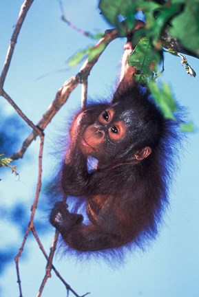Framed Baby Orangutan, Tanjung Putting National Park, Indonesia Print