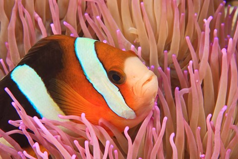 Framed Anemonefish, Scuba Diving, Tukang Besi, Indonesia Print