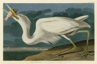 Great White Heron  Fine Art Print