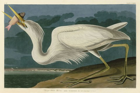 Framed Great White Heron Print